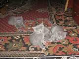 Кішки, кошенята Російська блакитна, ціна 550 Грн., Фото