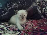 Кішки, кошенята Тайська, ціна 450 Грн., Фото