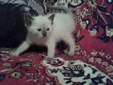 Кошки, котята Тайская, цена 450 Грн., Фото