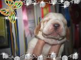 Собаки, щенята Бассет, ціна 123 Грн., Фото