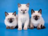 Кошки, котята Тайская, цена 2500 Грн., Фото