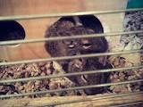 Грызуны Дегу, цена 70 Грн., Фото