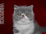Кішки, кошенята Екзотична короткошерста, ціна 4000 Грн., Фото