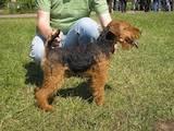Собаки, щенята Вельштер'єр, ціна 2000 Грн., Фото