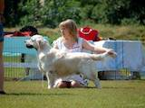 Собаки, щенки Золотистый ретривер, цена 3500 Грн., Фото