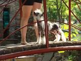 Собаки, щенки Китайская хохлатая собака, цена 3200 Грн., Фото