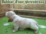 Собаки, щенята Бассет, ціна 550 Грн., Фото