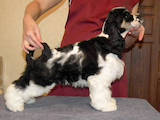Собаки, щенки Американский коккер, цена 3200 Грн., Фото
