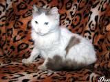 Кошки, котята Турецкий ван, цена 40 Грн., Фото
