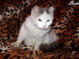 Кішки, кошенята Турецький ван, ціна 40 Грн., Фото