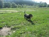 Собаки, щенки Длинношерстная такса, цена 800 Грн., Фото