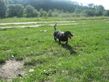Собаки, щенята Довгошерста такса, ціна 800 Грн., Фото