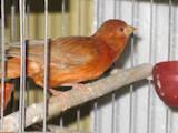 Папуги й птахи Канарки, ціна 80 Грн., Фото