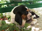 Собаки, щенки Бассет, цена 450 Грн., Фото