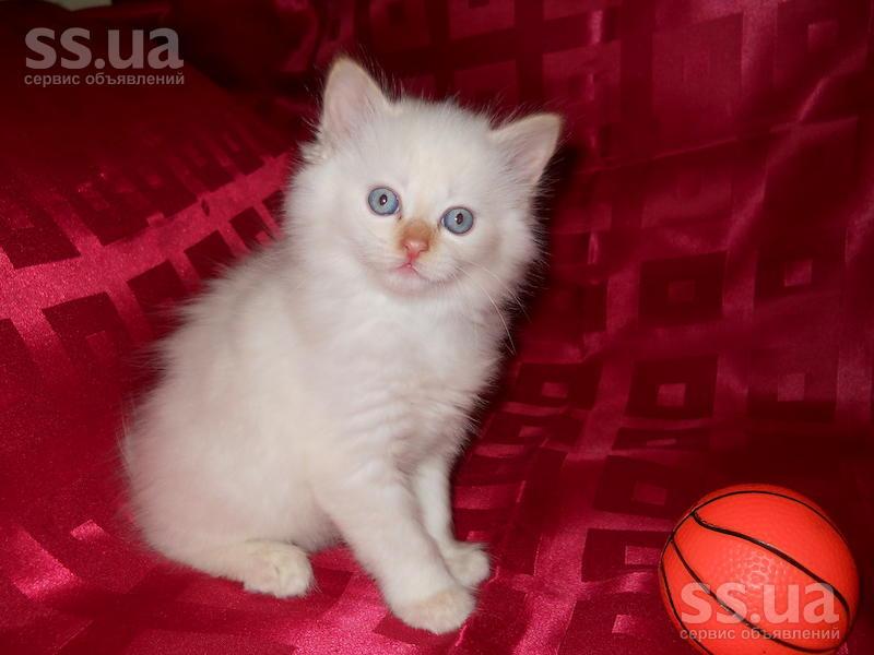 У нас рождаются очаровательные невские маскарадные котята ...