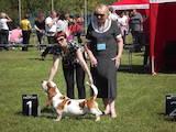 Собаки, щенки Бассет, цена 8000 Грн., Фото