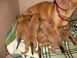 Собаки, щенята Гладкошерста такса, ціна 300 Грн., Фото