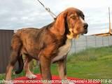 Собаки, щенки Испанский мастиф, цена 6000 Грн., Фото