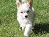 Собаки, щенки Китайская хохлатая собака, цена 600 Грн., Фото