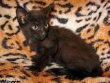 Кішки, кошенята Гавана, ціна 300 Грн., Фото