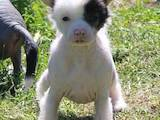 Собаки, щенки Китайская хохлатая собака, цена 1200 Грн., Фото