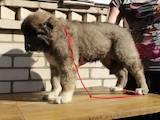 Собаки, щенки Кавказская овчарка, цена 1800 Грн., Фото