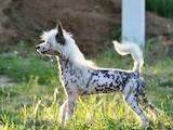 Собаки, щенята Китайська чубата собака, ціна 2500 Грн., Фото