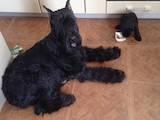 Собаки, щенки Ризеншнауцер, цена 4000 Грн., Фото