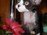 Кішки, кошенята Девон-рекс, ціна 4000 Грн., Фото