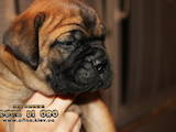 Собаки, щенята Бульмастиф, ціна 6400 Грн., Фото