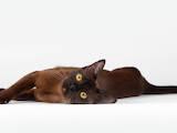 Кішки, кошенята Бурма, ціна 0.30 Грн., Фото