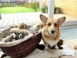 Собаки, щенята Вельш коргі пемброк, ціна 3800 Грн., Фото