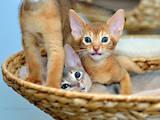 Кішки, кошенята Абіссінська, ціна 7000 Грн., Фото