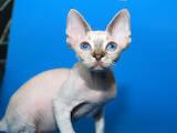 Кошки, котята Девон-рекс, цена 2000 Грн., Фото