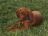 Собаки, щенята Угорська вижла, ціна 1000 Грн., Фото