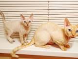 Кішки, кошенята Девон-рекс, ціна 628 Грн., Фото