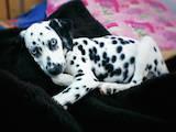 Собаки, щенки Далматин, цена 1200 Грн., Фото