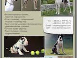 Собаки, щенки Немецкий дог, цена 4000 Грн., Фото