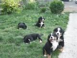 Собаки, щенята Гірський собака Берна, ціна 5000 Грн., Фото