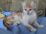 Кошки, котята Американский керл, цена 1000 Грн., Фото