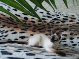 Кошки, котята Сиамская, цена 700 Грн., Фото