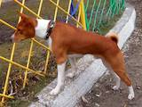 Собаки, щенята Басенджі, Фото