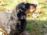 Собаки, щенята Жорсткошерста такса, ціна 2000 Грн., Фото