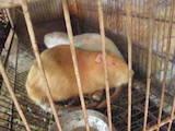 Грызуны Домашние крысы, цена 120 Грн., Фото