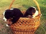 Собаки, щенята Гірський собака Берна, ціна 4500 Грн., Фото