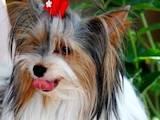 Собаки, щенята Спаровування, ціна 4000 Грн., Фото