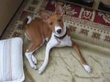 Собаки, щенки Басенджи, цена 2000 Грн., Фото
