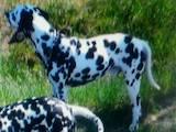 Собаки, щенята Далматин, ціна 1000 Грн., Фото