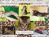 Кошки, котята Оцикат, цена 4000 Грн., Фото