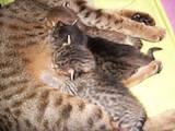Кішки, кошенята Оцикат, ціна 4000 Грн., Фото